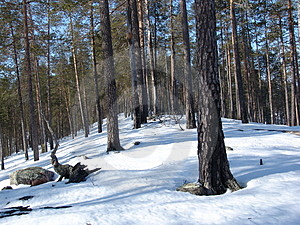Karelian Forest Stock Images