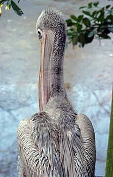 (Rosa färg-Dragen tillbaka) pelikan, Royaltyfria Bilder