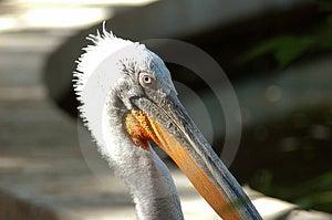 Pelican Portrait Free Stock Image