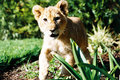 Lion Cub 01 Royalty Free Stock Image