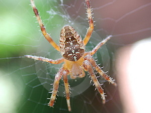 Male Garden Spider Royalty Free Stock Photography - Image: 1303107