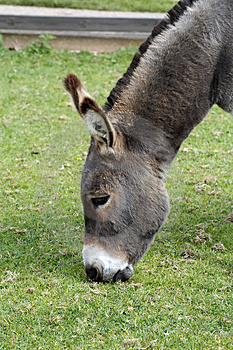 Donkey Eating Royalty Free Stock Image - Image: 1307386