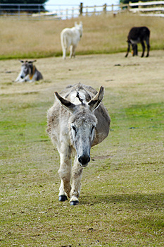 Donkey Walking Stock Photo - Image: 1307390