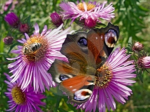 Butterfly And Bee Royalty Free Stock Photos - Image: 1322668