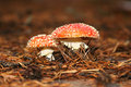 Fly-agaric Royalty Free Stock Photos