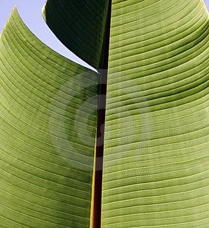 Large Leaf Stock Image - Image: 1331011