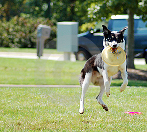 Jumping Dog Royalty Free Stock Photo