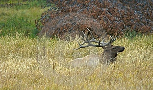 Elk At Rest Royalty Free Stock Photos - Image: 1335778