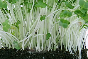 Fresh healthy green cress
