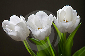 Beautiful white tulips Royalty Free Stock Photography