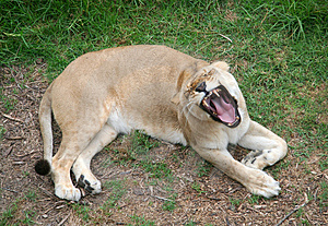 Lioness Roaring Stock Photo - Image: 1344570