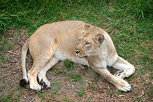 Lioness Stock Image - Image: 1344571