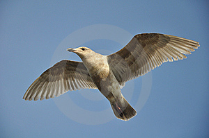 Seagull In Flight Stock Images - Image: 13488474