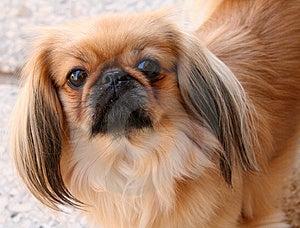 Nice Pug-dog 2 Royalty Free Stock Photo - Image: 1355585