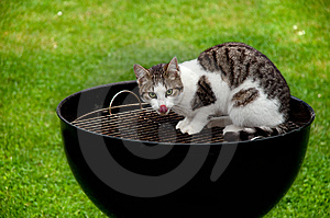 Hungry Cat Royalty Free Stock Photography - Image: 13550687