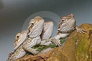 Bearded Dragons Stock Image - Image: 13554421