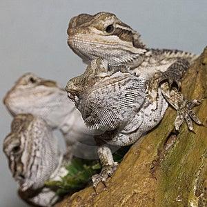 Bearded Dragons Stock Image - Image: 13555511