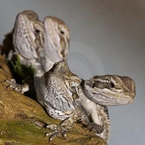 Bearded Dragons Stock Photo - Image: 13555530