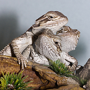 Bearded Dragons Stock Images - Image: 13555544