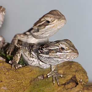 Bearded Dragons Royalty Free Stock Photography - Image: 13555557