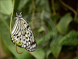 Butterfly On Stem Royalty Free Stock Photos - Image: 13556418