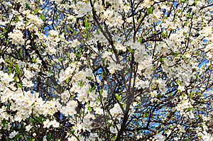 Blossoming Tree Royalty Free Stock Image - Image: 13558856
