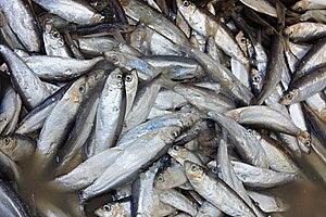 Sardines In Brine Stock Photos - Image: 13560913