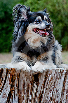 Mixed Breed Toy Pom Stock Images - Image: 13564064