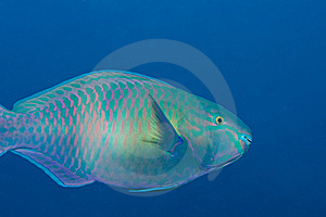 Parrotfish Stock Images - Image: 13568144