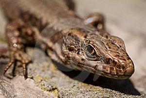 Lizard(lacerta Vivipara)macro On A Rock Stock Photos - Image: 13569163