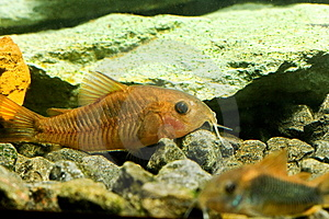 Aquarium Fish Royalty Free Stock Photos - Image: 13569518