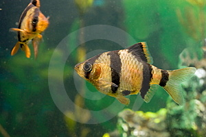 Aquarium Fish Capoeta Tetrazona Royalty Free Stock Image - Image: 13570266