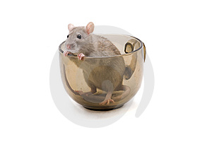 Rodent Royalty Free Stock Image - Image: 13572566