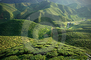 Tea Plantation Stock Photos - Image: 13576133