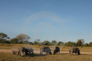 Rhino In Sabi Sand, South Africa Stock Image - Image: 13577041