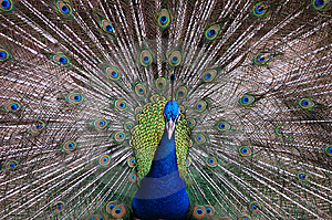 Peacock Royalty Free Stock Image - Image: 13577186
