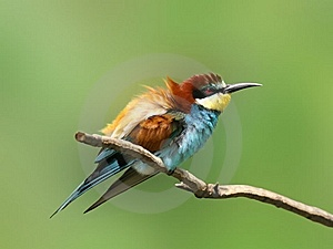 Feathery Bee-eater Stock Photo