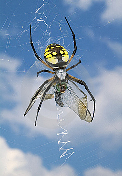 The Black-and-yellow Argiope (Argiope Aurantia). Royalty Free Stock Images - Image: 13580249