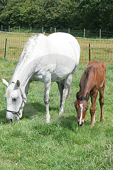 Mare And Foal Royalty Free Stock Image - Image: 13580936