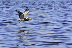 Pelican Gliding Over Blue Sea For Landing Stock Image - Image: 13588451