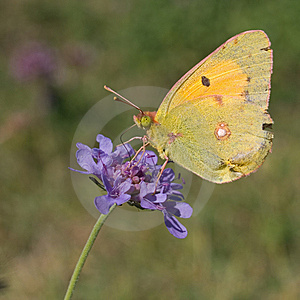 Clouded Yellow On Field Scabious Stock Image - Image: 13590961