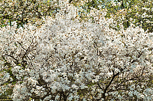 White Blossom Royalty Free Stock Photo - Image: 13591745
