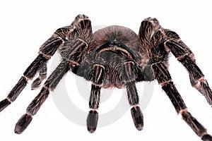 Close-up Of Big Spider Tarantula Stock Photos - Image: 13592533