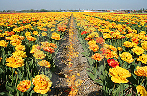 Tulip Fields Royalty Free Stock Photography - Image: 13594017