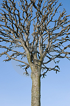 Bare Tree Royalty Free Stock Photo - Image: 13596885