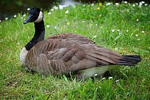 Duck Stock Image - Image: 1365101