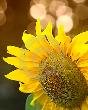 Sunflower Royalty Free Stock Image - Image: 1365156