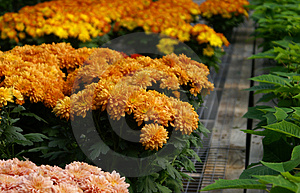 Fall Mums 1 Stock Photos - Image: 1367483