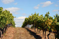Vineyard Rows on Top of a Hill Stock Photo