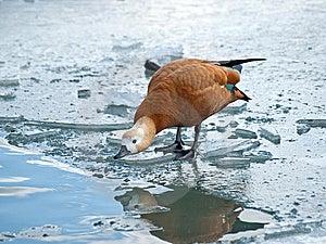 Brown Duke On The Lake Stock Photo - Image: 13600860